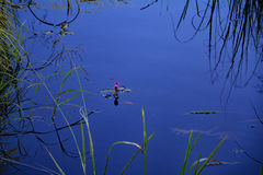 Ninfea rosa nella fossa Fotografia Stock