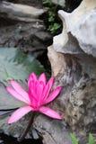 Ninfea rosa (pubescens della nymphaea) Fotografia Stock