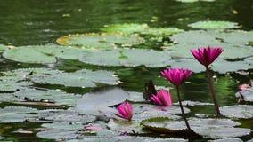 Ninfea rossa, fiore nazionale dello Sri Lanka ed il Bangladesh stock footage