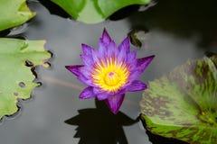 Ninfea in un giardino in Yungkhao in Tailandia Fotografia Stock Libera da Diritti