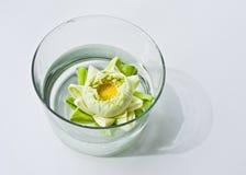 Ninfea in vaso Fotografia Stock