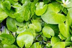 Ninfee in acqua giardino Fotografie Stock Libere da Diritti