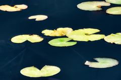 Ninfee che galleggiano su uno stagno tranquillo fotografie stock