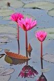 Ninfee rosa fotografie stock libere da diritti