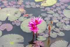 Ninfee rosa dei fiori in un piccolo stagno Angkor Wat cambodia immagini stock