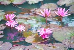 Ninfee rosa su uno stagno Fotografia Stock