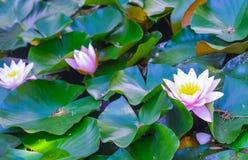 Ninfee rosa tenere, fine dettagliata di vista su Bei fiori di loto nello stagno Immagini Stock Libere da Diritti