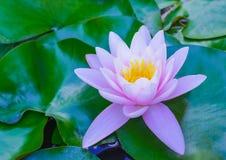 Ninfee rosa tenere, fine dettagliata di vista su Bei fiori di loto nello stagno Fotografie Stock