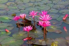 Ninfee su uno stagno thailand fotografia stock libera da diritti