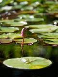 Ninfee Unblown del fiore in uno stagno fotografie stock libere da diritti