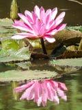 Ninfeia星莲属水生植物典型睡莲科的家庭 库存照片