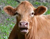 Ningún Flys en esta vaca Fotos de archivo libres de regalías