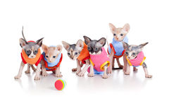 Ninhada calva engraçada dos gatinhos de sphynx canadense Imagem de Stock