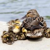 Ninhada do pato selvagem Fotografia de Stock