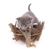 Ninho cinzento do gato e do pássaro Fotografia de Stock