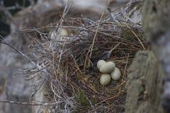 Ninho com o grande cormorão preto dos ovos Foto de Stock Royalty Free