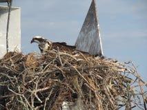 Ninho da águia pescadora ocupado Imagem de Stock
