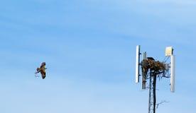Ninho da construção da águia pescadora Foto de Stock Royalty Free