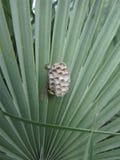 Ninho da construção da vespa na palma do dedo Fotografia de Stock Royalty Free