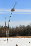 Ninho da garça-real de grande azul na árvore inoperante Fotos de Stock