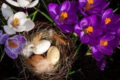 Ninho da Páscoa com os ovos com açafrões Foto de Stock