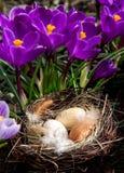 Ninho da Páscoa com os ovos com açafrões Fotos de Stock Royalty Free