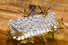 Ninho da vespa Fotografia de Stock