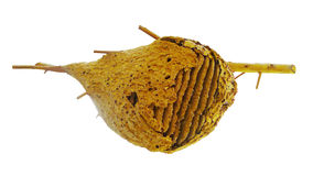 Ninho da vespa Imagem de Stock