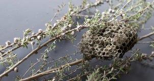 ninho da vespa da Ainda-vida no ramo de Manuka Fotografia de Stock