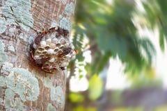 Ninho da vespa com as vespas que sentam-se na árvore imagens de stock