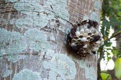 Ninho da vespa com as vespas que sentam-se na árvore fotos de stock
