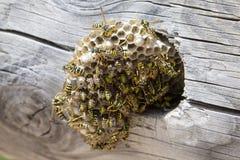 Ninho da vespa com vespas imagens de stock royalty free