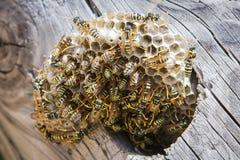 Ninho da vespa com vespas fotos de stock royalty free