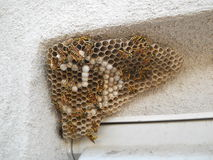 Ninho da vespa, em um rebaixo de uma casa Fotografia de Stock