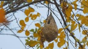 Ninho da vespa em uma árvore do outono filme