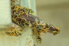 Ninho da vespa muitas grandes vespas Conceito - perigo, mordidas do ins selvagem imagens de stock