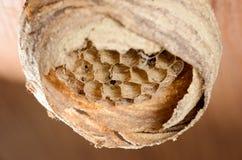 Ninho da vespa no teto de madeira 1 Fotografia de Stock Royalty Free