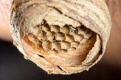Ninho da vespa no teto de madeira 2 Imagem de Stock Royalty Free