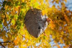 Ninho da vespa que pendura da árvore na queda Fotografia de Stock