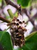 Ninho da vespa 4 vespas do guardião que protegem seus ninho e ovos Fotografia macro imagem de stock royalty free