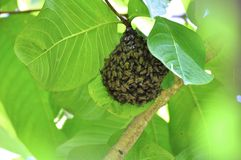 Ninho das abelhas Imagem de Stock Royalty Free