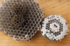 Ninho das vespas fotos de stock