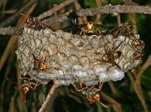 Ninho das vespas? Imagens de Stock Royalty Free
