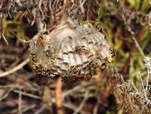 Ninho das vespas no selvagem Imagem de Stock