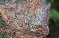 Ninho de Bagworm Fotos de Stock Royalty Free