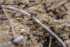 Ninho de formigas pretas Fotografia de Stock