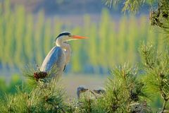 Ninho de Grey Heron foto de stock royalty free
