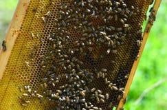 Ninho de Honey Bee na luz natural Foto de Stock
