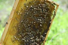 Ninho de Honey Bee na luz natural Imagens de Stock Royalty Free
