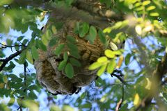 Ninho de vespas asiáticas na Espanha fotografia de stock